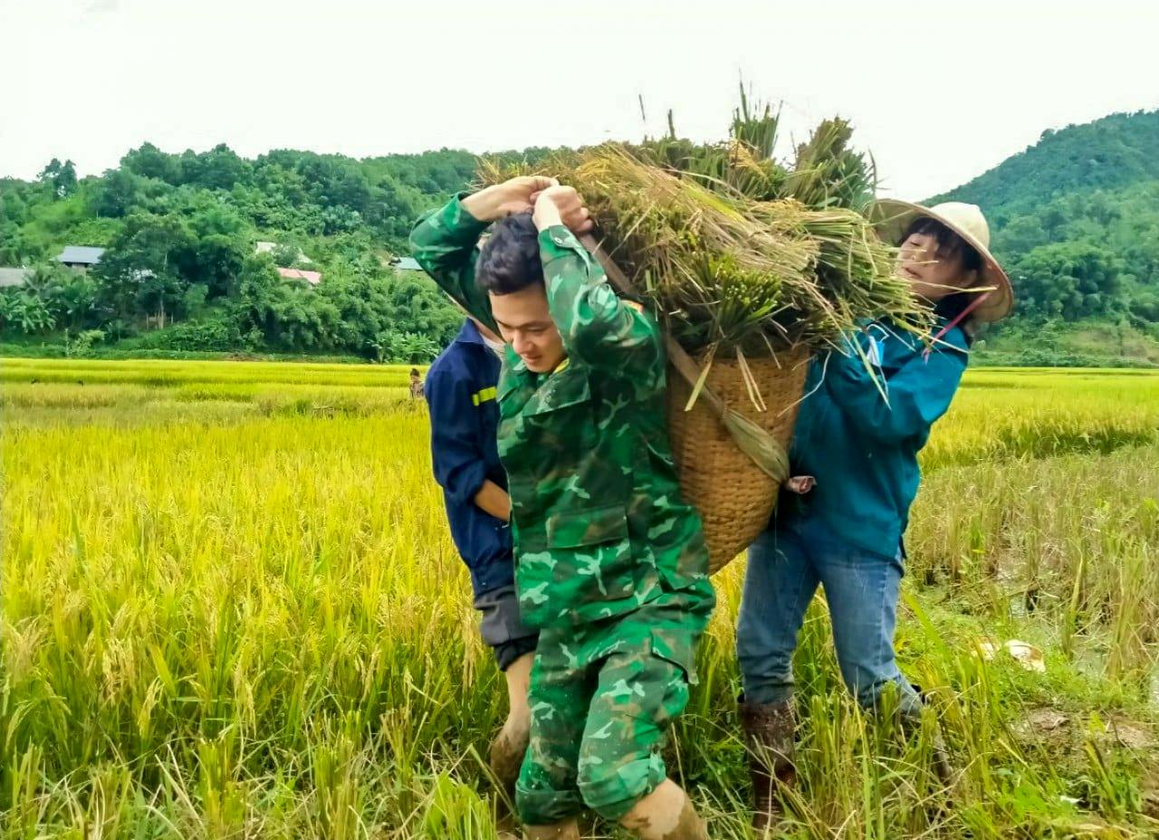 Bộ đội biên phòng Thanh Hóa giúp dân thu hoạch lúa tránh bão 3