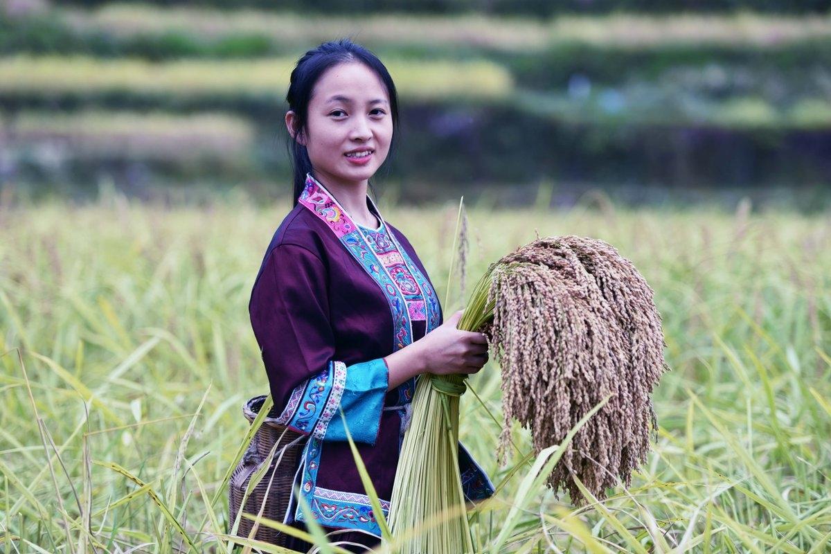 Thiếu nữ dân tộc Choang thu hoạch lúa