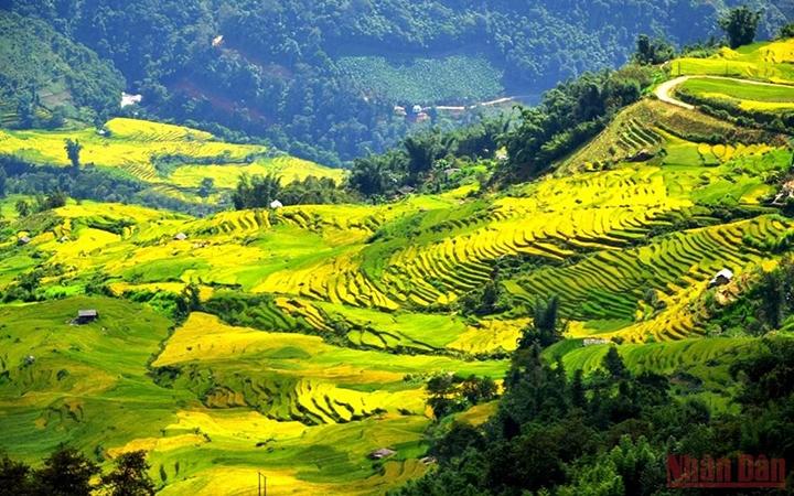 Ruộng bậc thang mùa lúa chín ở huyện Bát Xát, Lào Cai (Ảnh: Quốc Hồng)